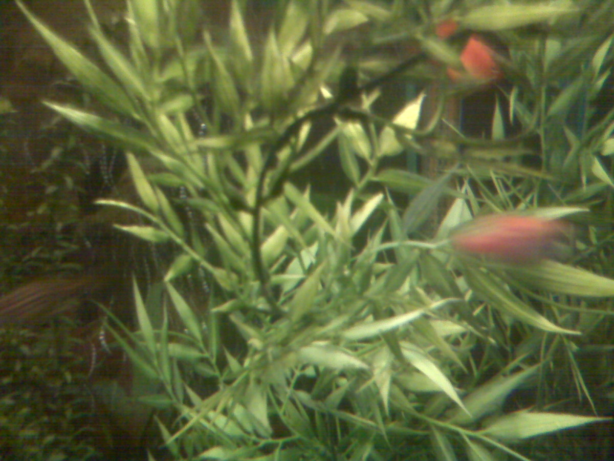 Jungle plant purchased from Petsmart makes a great hiding place for fry and most other fish.
