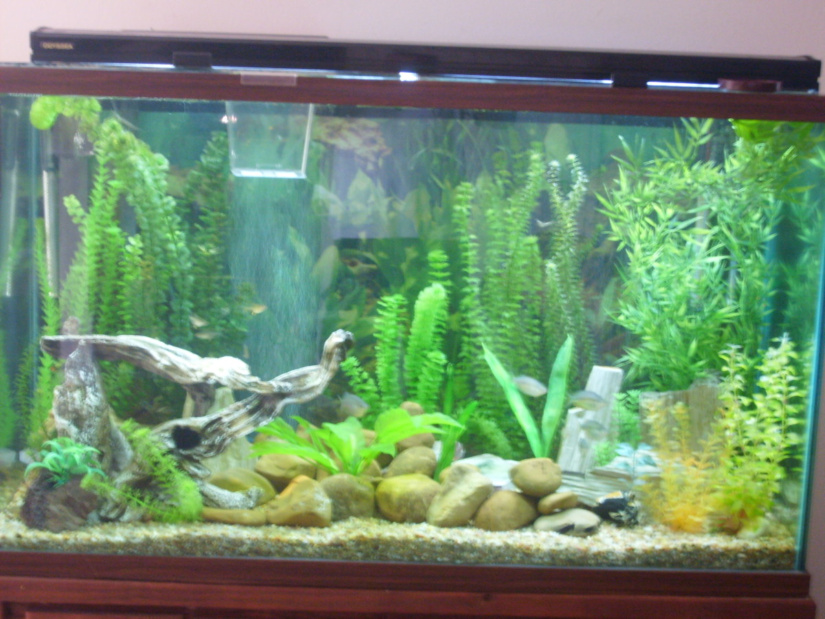 If you have a formation of stones or rocks like I had once in my aquarium, they can hide there. Notice the tall jungle plant on the right corner.