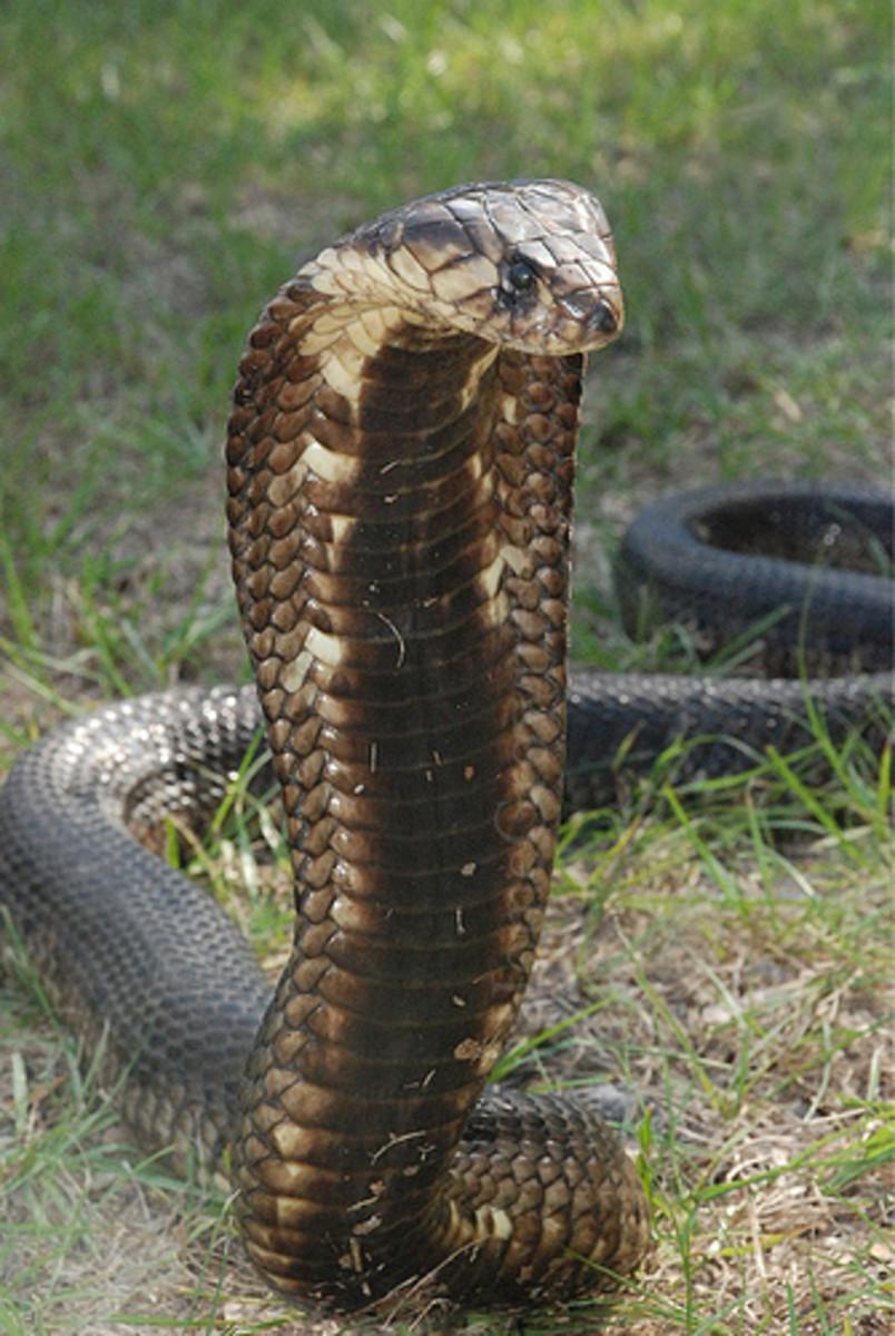 Egyptian Cobra