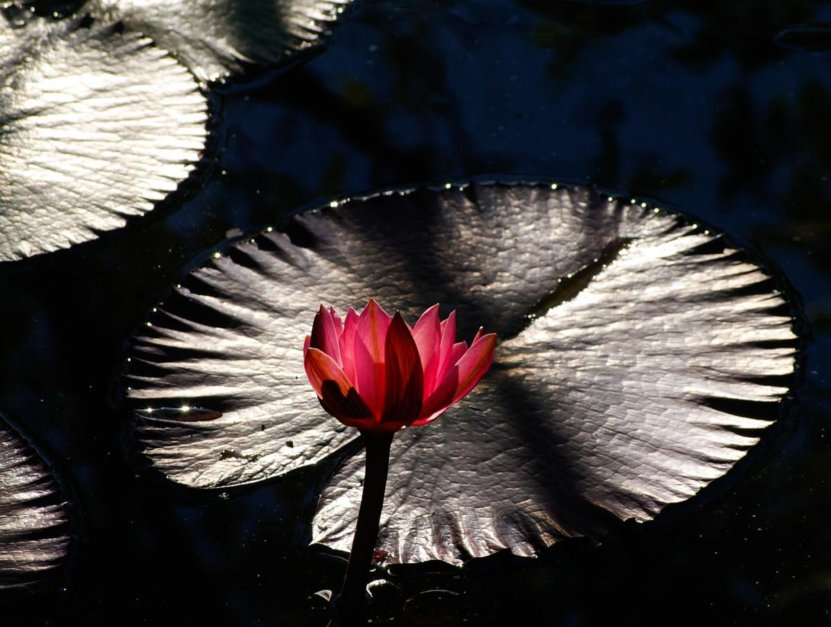 dream-symbols-lilies-interpreting-lilies-as-a-dream-symbol