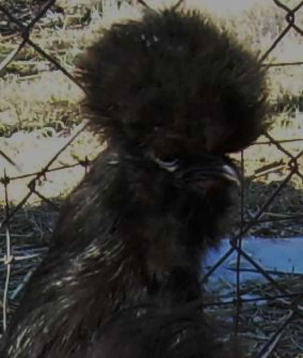 Black Silkie Close-up