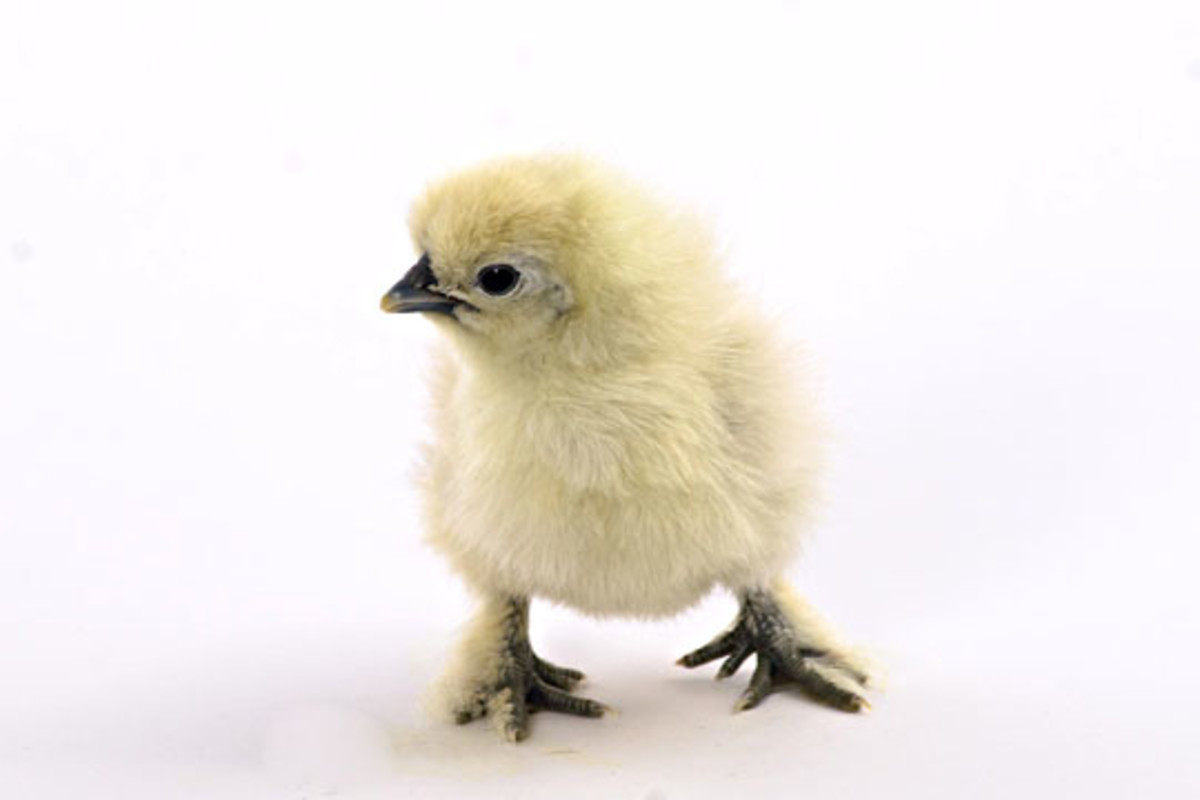 White Silkie Chick