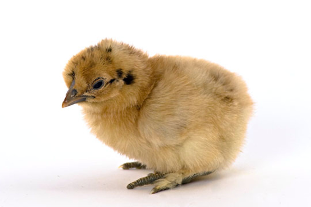Buff Silkie Chick