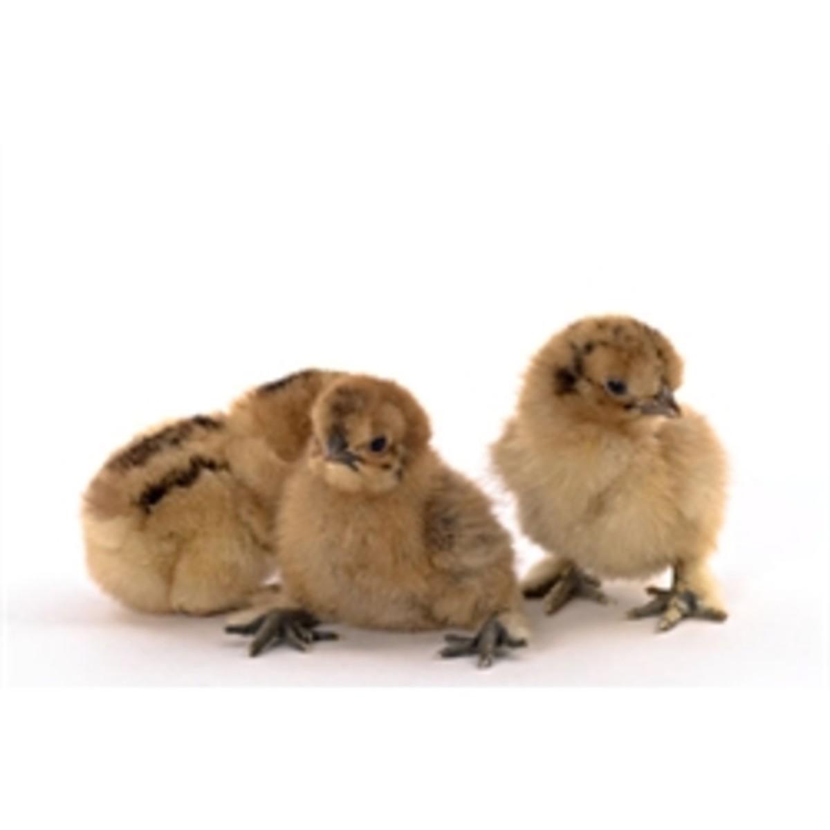Red Silkie Chicks