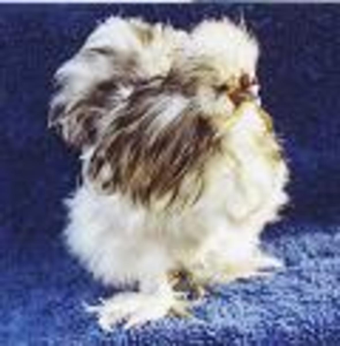 Silkie Chicken Colors in Pictures