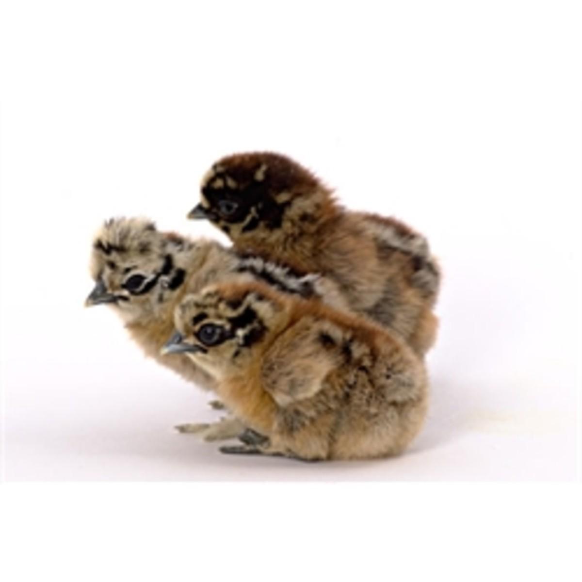 Partridge Silkie Chicks