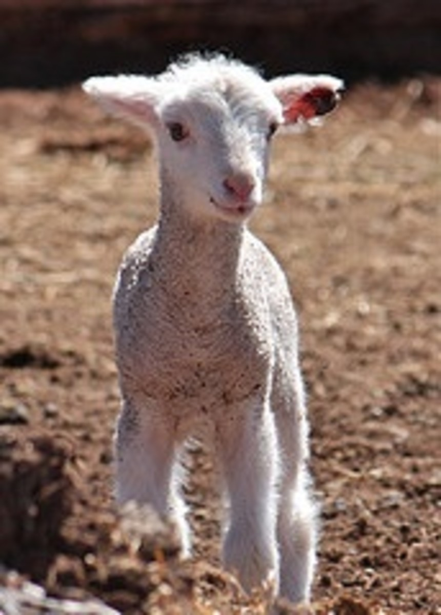 How to Show a Lamb: A Simple Guide to Basic Showmanship