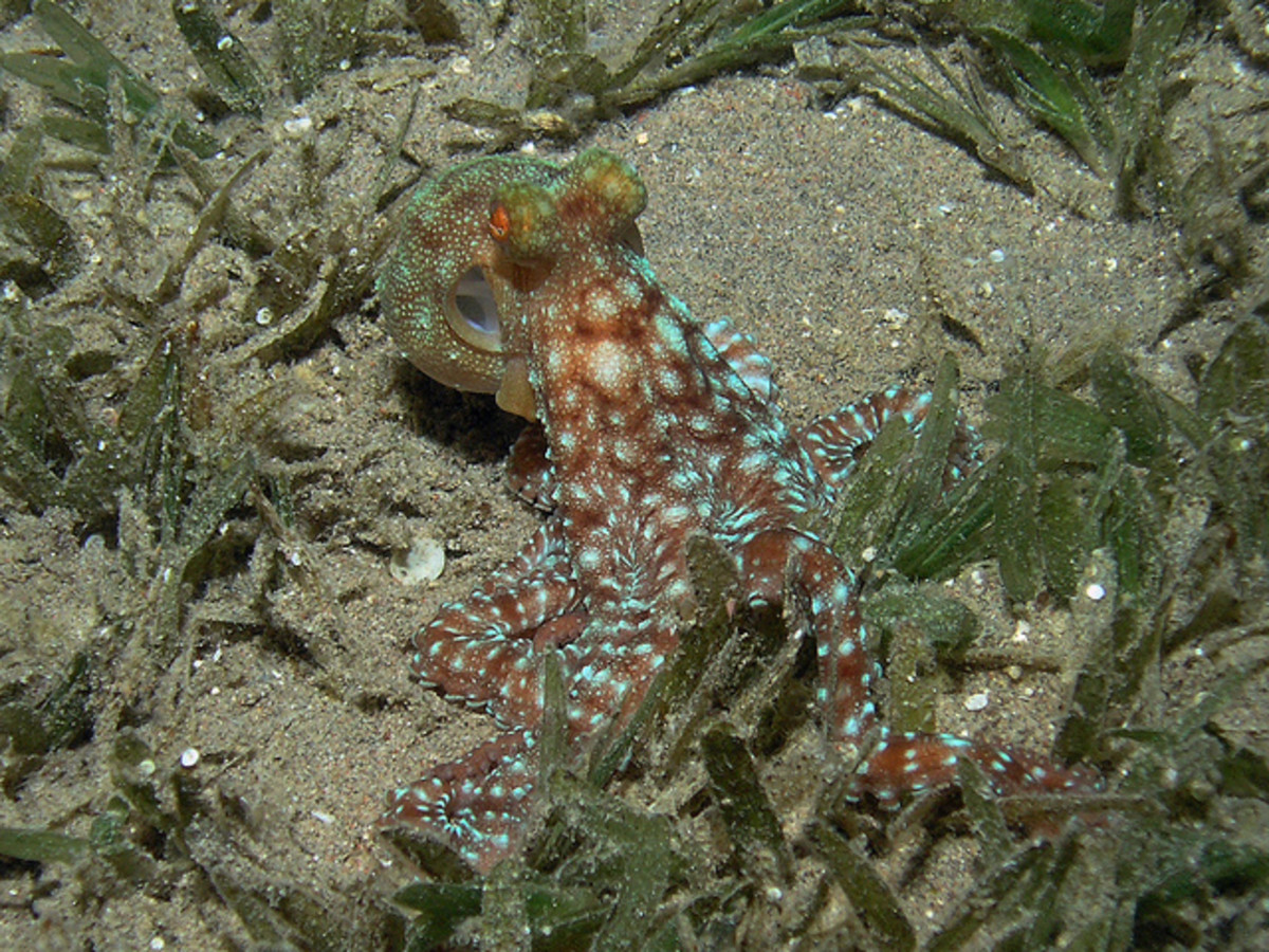 A White Spotted Octopus hunting for molluscs and crabs in the sea grass at night in Aqaba Marine Park. www.redseaexplorer.com