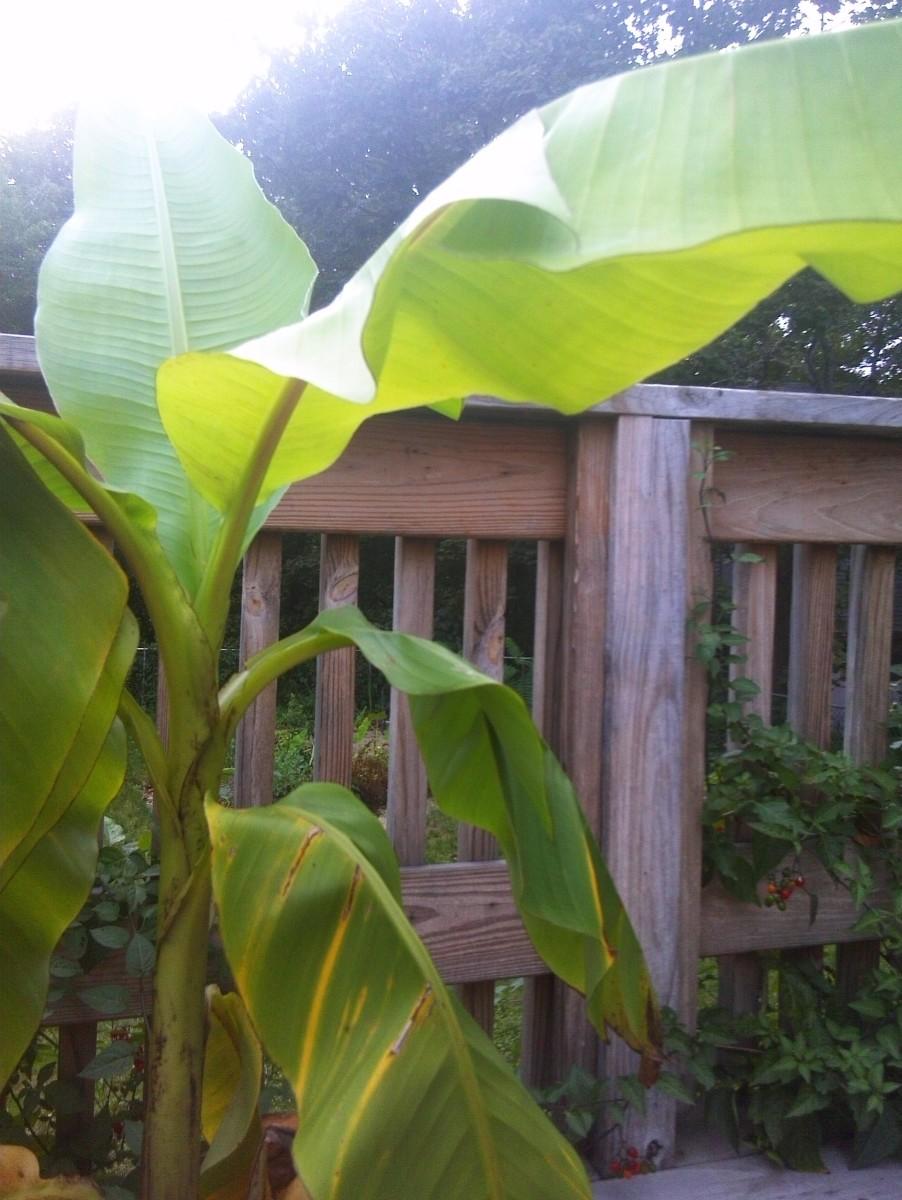 The Most Cold Tolerant Banana Plant Musa Basjoo