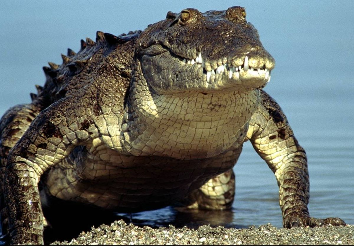 Monster Crocs: How Big Can Crocodiles Get?