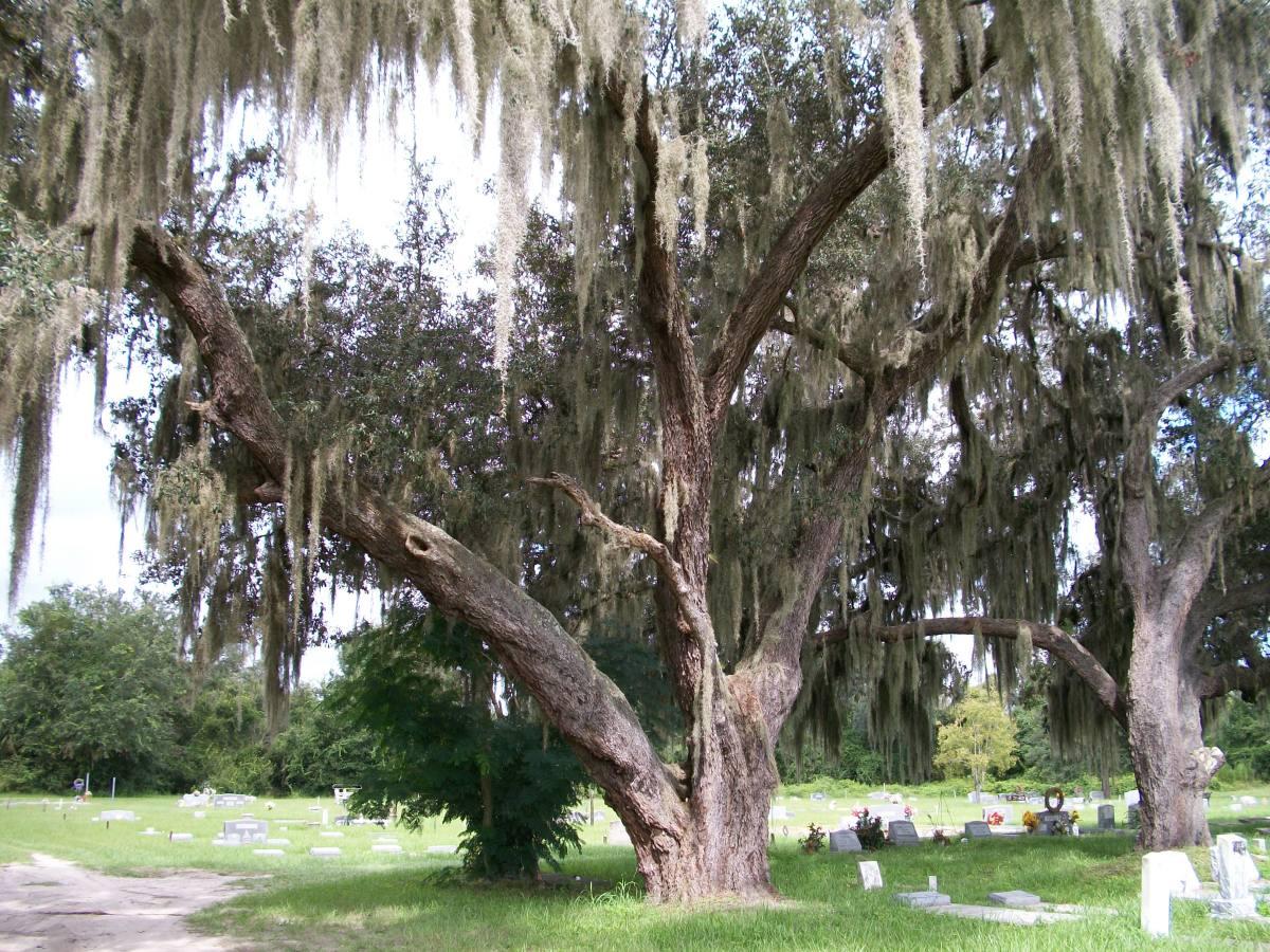 A venerable oak tree in the Fort Ogden cemetery.