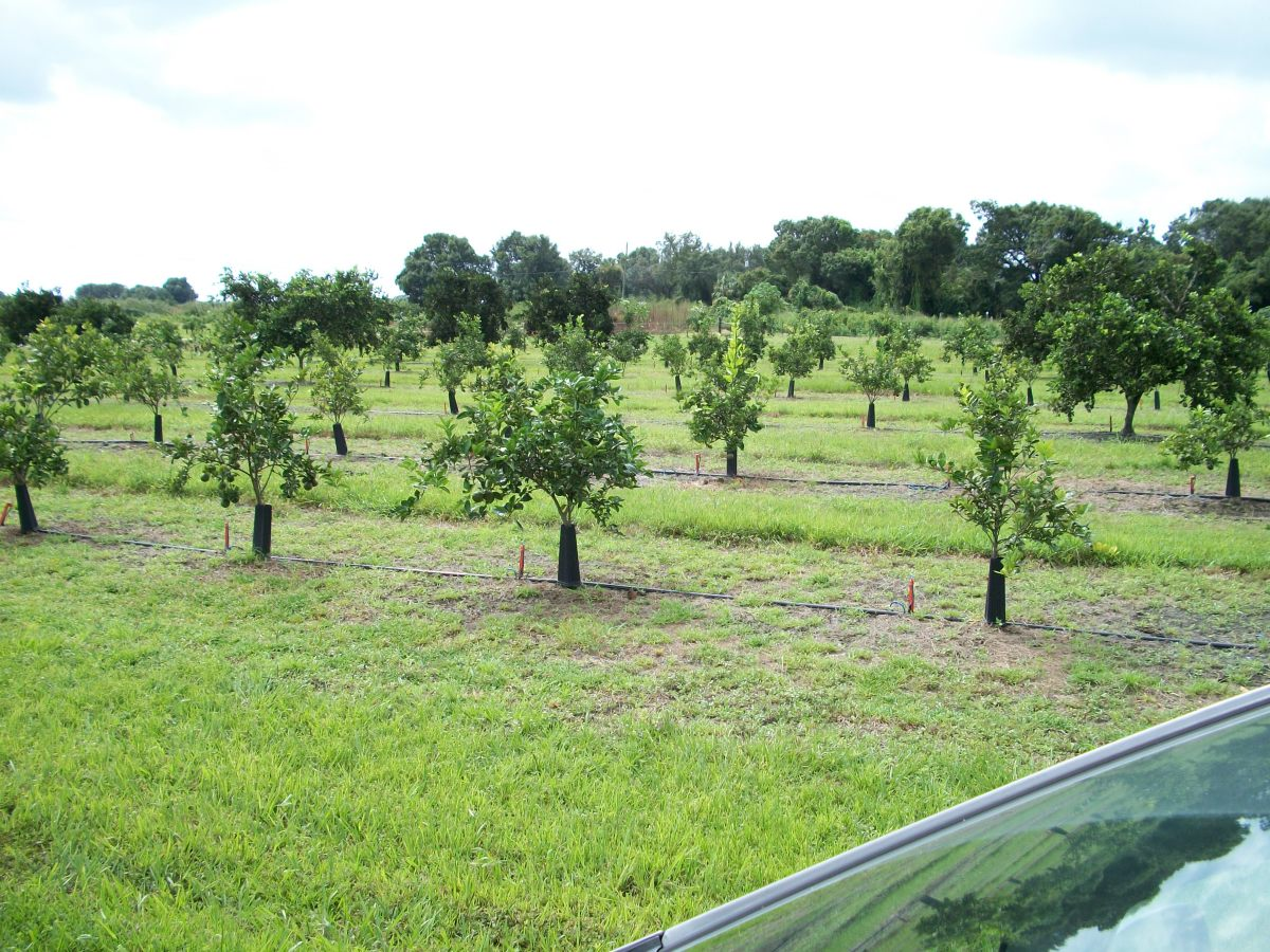 A young citrus orchard