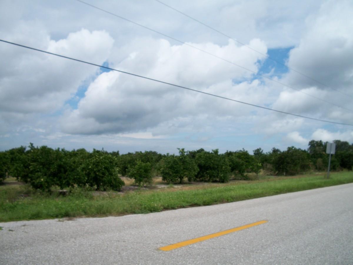 Mature citrus orchard