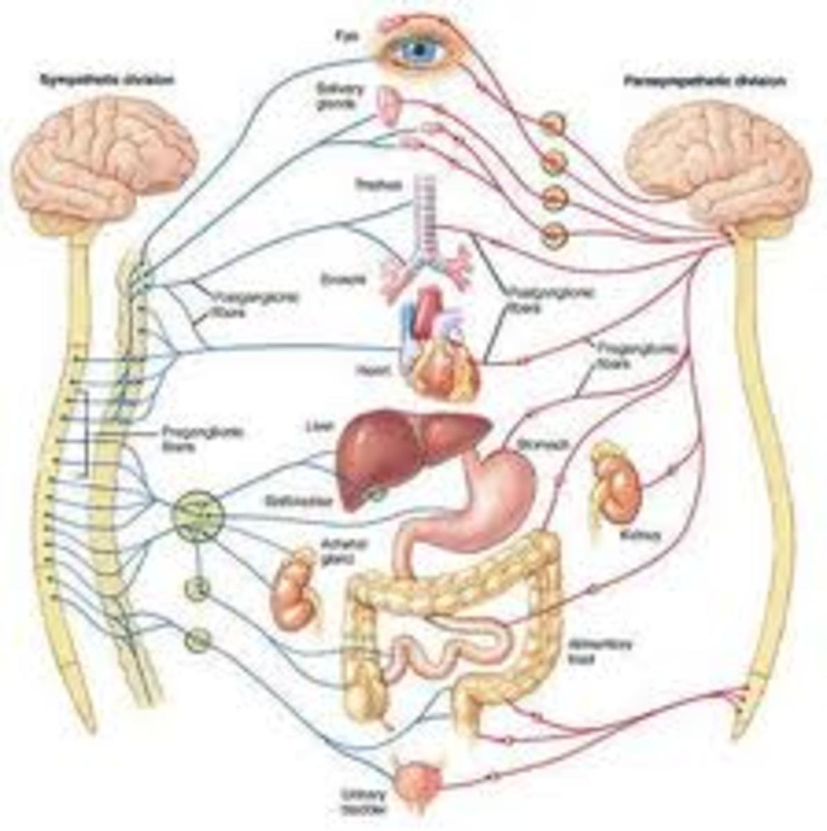 Network of nerves