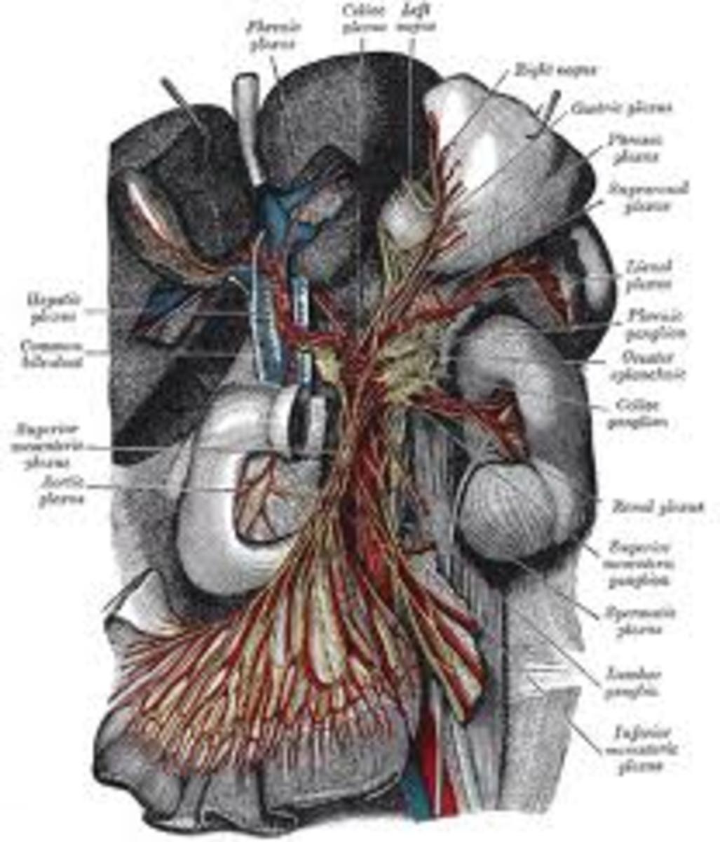 The solar plexus, celiac plexus, fourth brain, the body's life force