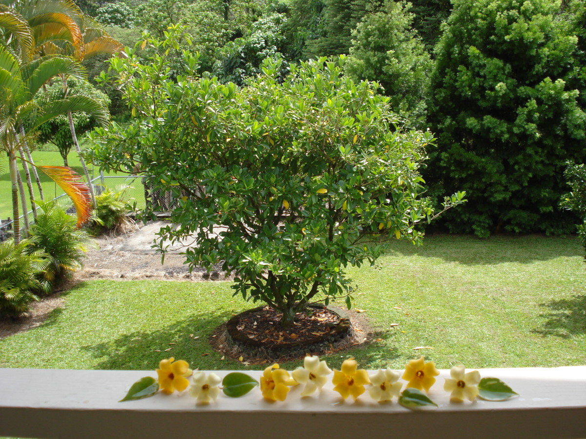 Puakenikeni tree with blossoms