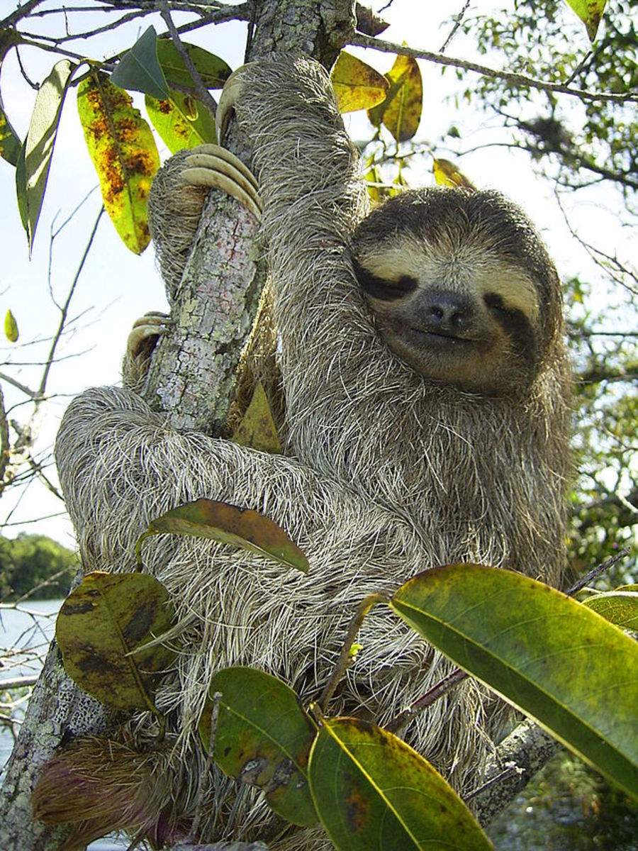 Sloths can be found in the rain forests of Brazil.