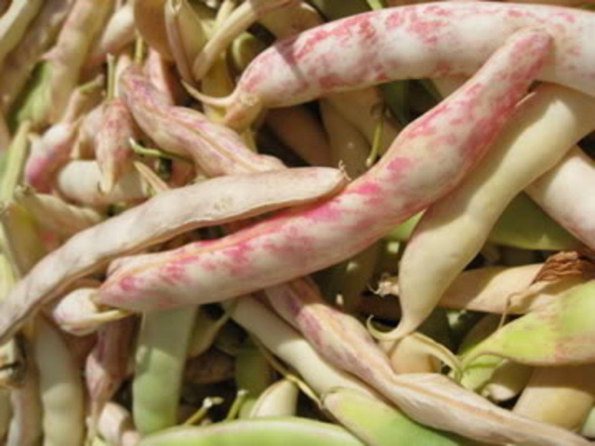 Health: What Are Cranberry Beans and the Consumption Benefits?