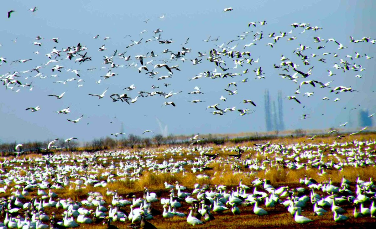 Snow Geese during migration.