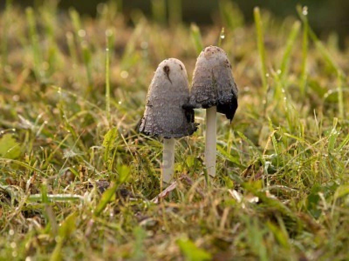 Coprinus Atramentarius Mushroom: