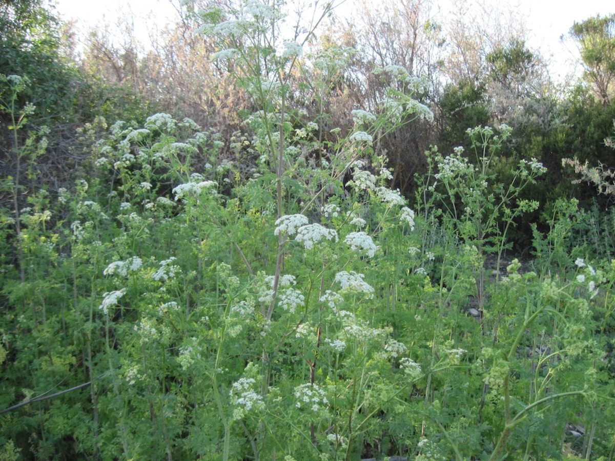 These delicate and graceful plants might tempt you to pick them for a bouquet. Don't do it. This is deadly poison hemlock. For a closer look, please click the picture.
