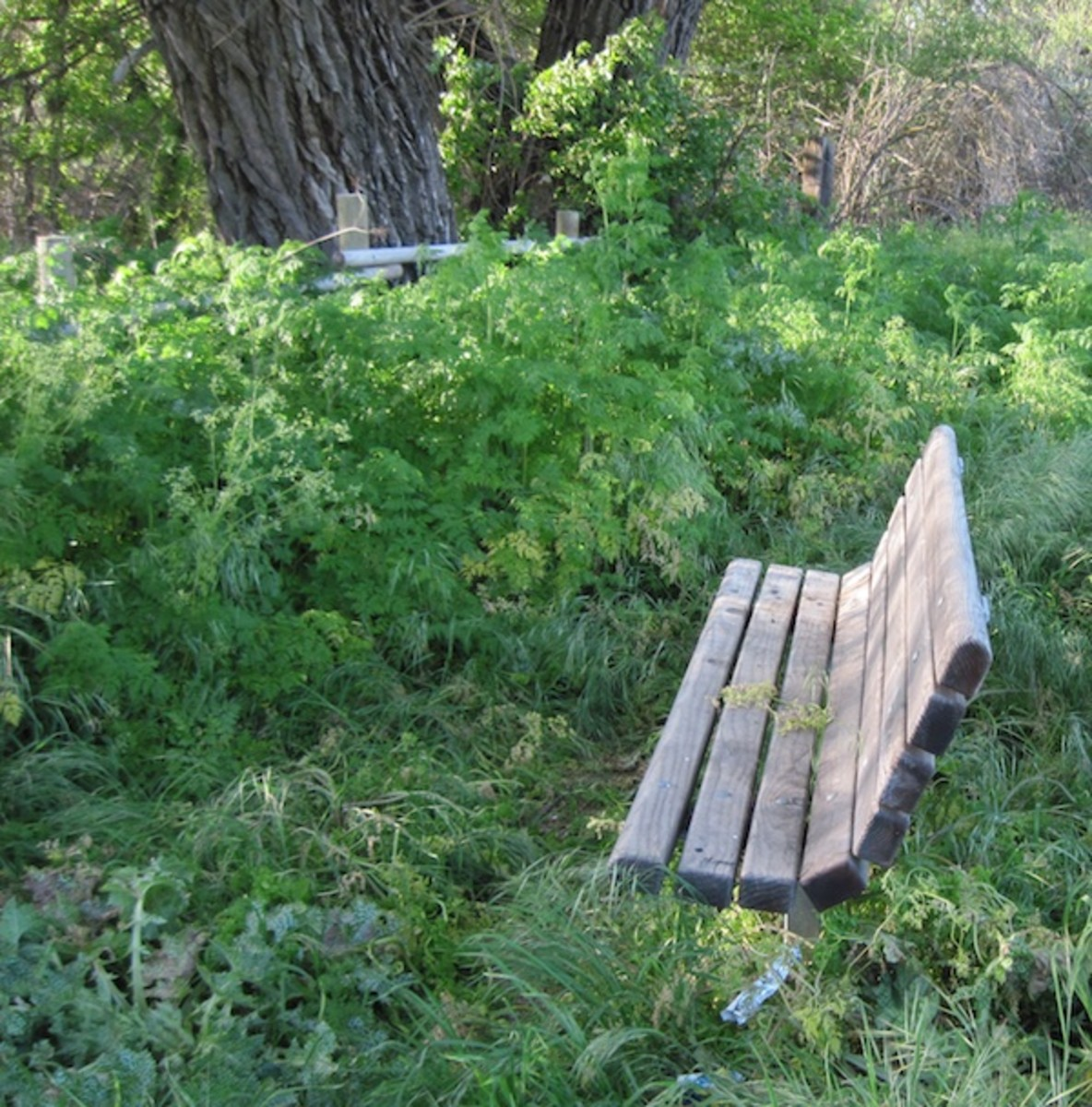 Taken at Lawrence Moore Park, Paso Robles. Here the fence-high poison hemlock, is preparing to grow even higher. Looks like someone might finally be spraying to get rid of it around the bench.