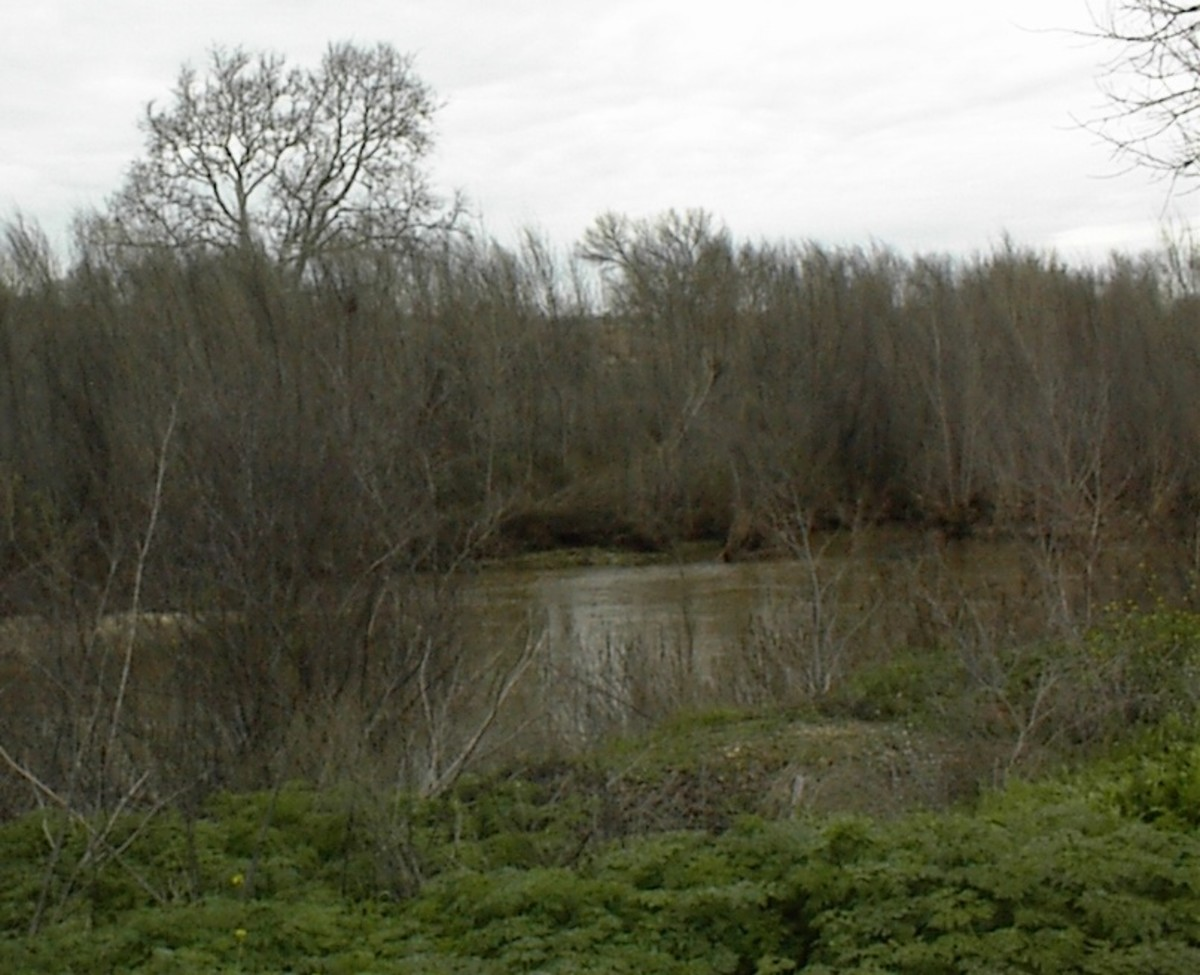 Taken at Lawrence Moore Park, Paso Robles. Here we see poison hemlock growing along the river banks.