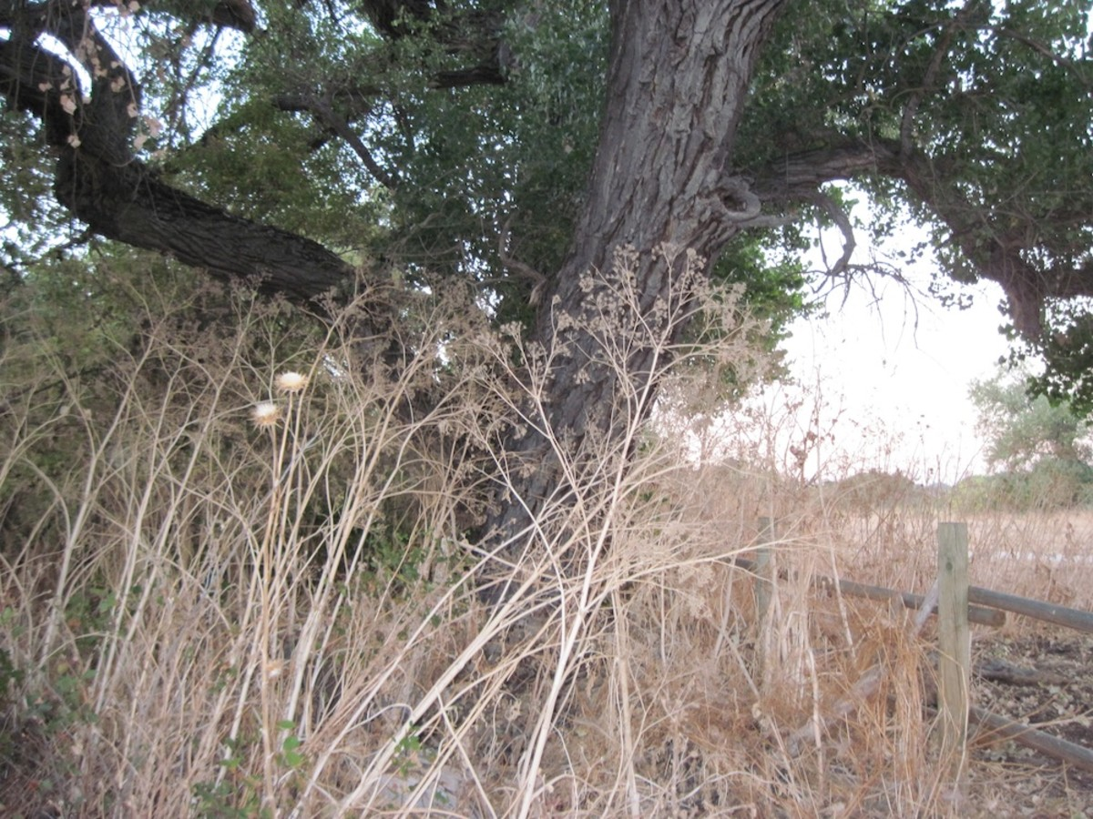 Taken at Lawrence Moore Park, Paso Robles. You can also see the dry milk thistle beside the hemlock here. Be sure to read warning in text capsule below.