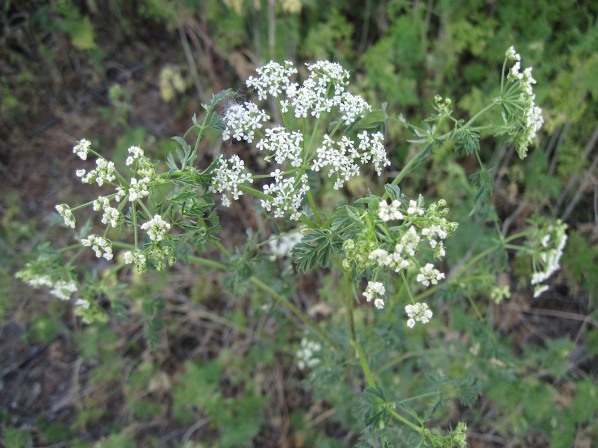Poison hemlock is easiest to recognize when it's blooming, as it is in this picture, during spring and summer. The white flower clusters appear as upside-down umbrellas. Click to enlarge pictures.