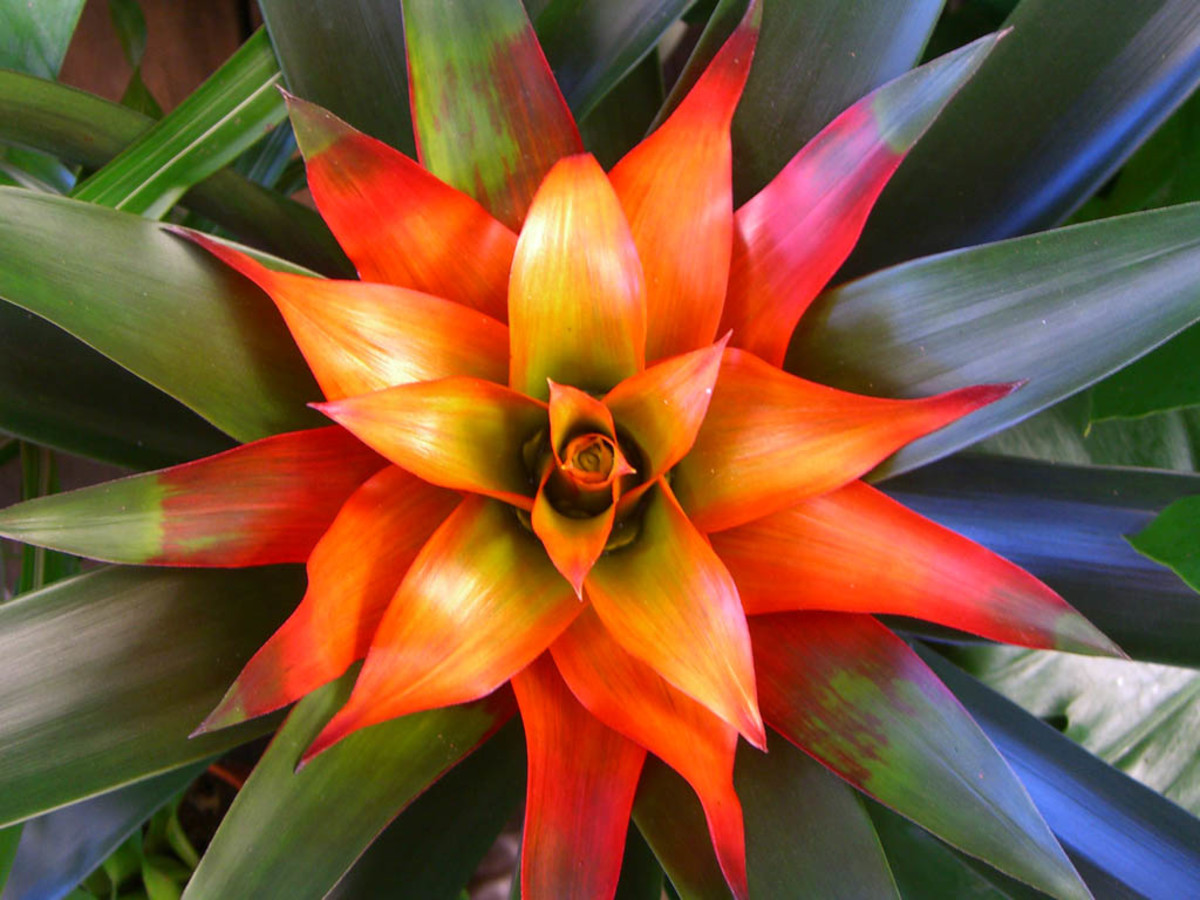 Indoor Plants For The Holidays - Bromeliads And Tillandsias