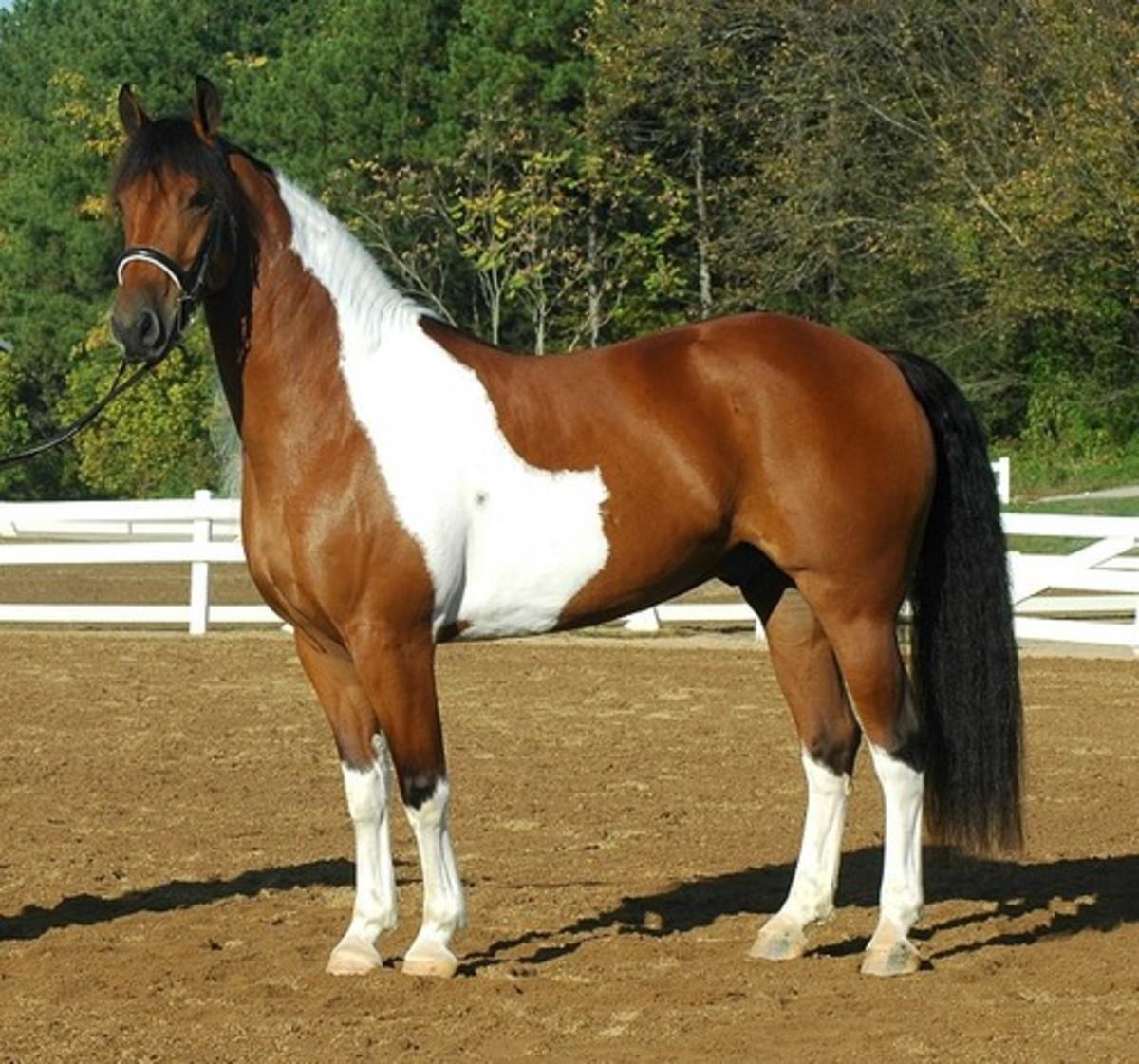 Cross Bred Horse