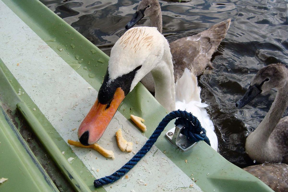 Hand Feeding Swans