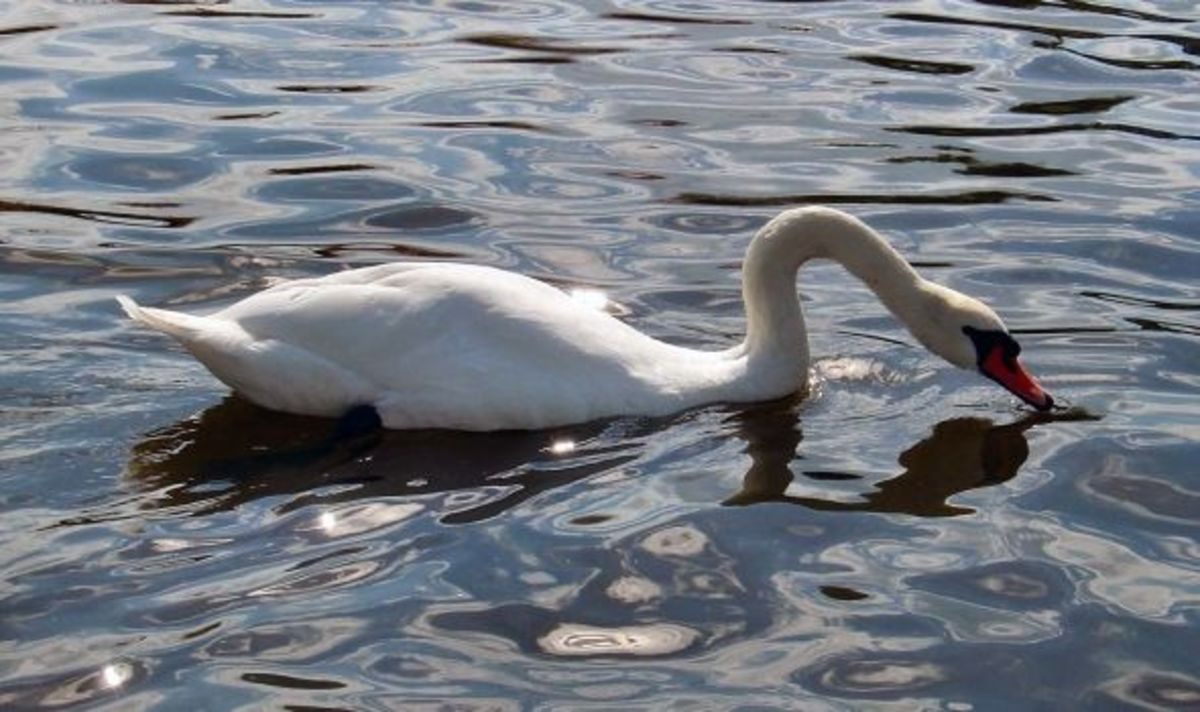 Swan on River Ant