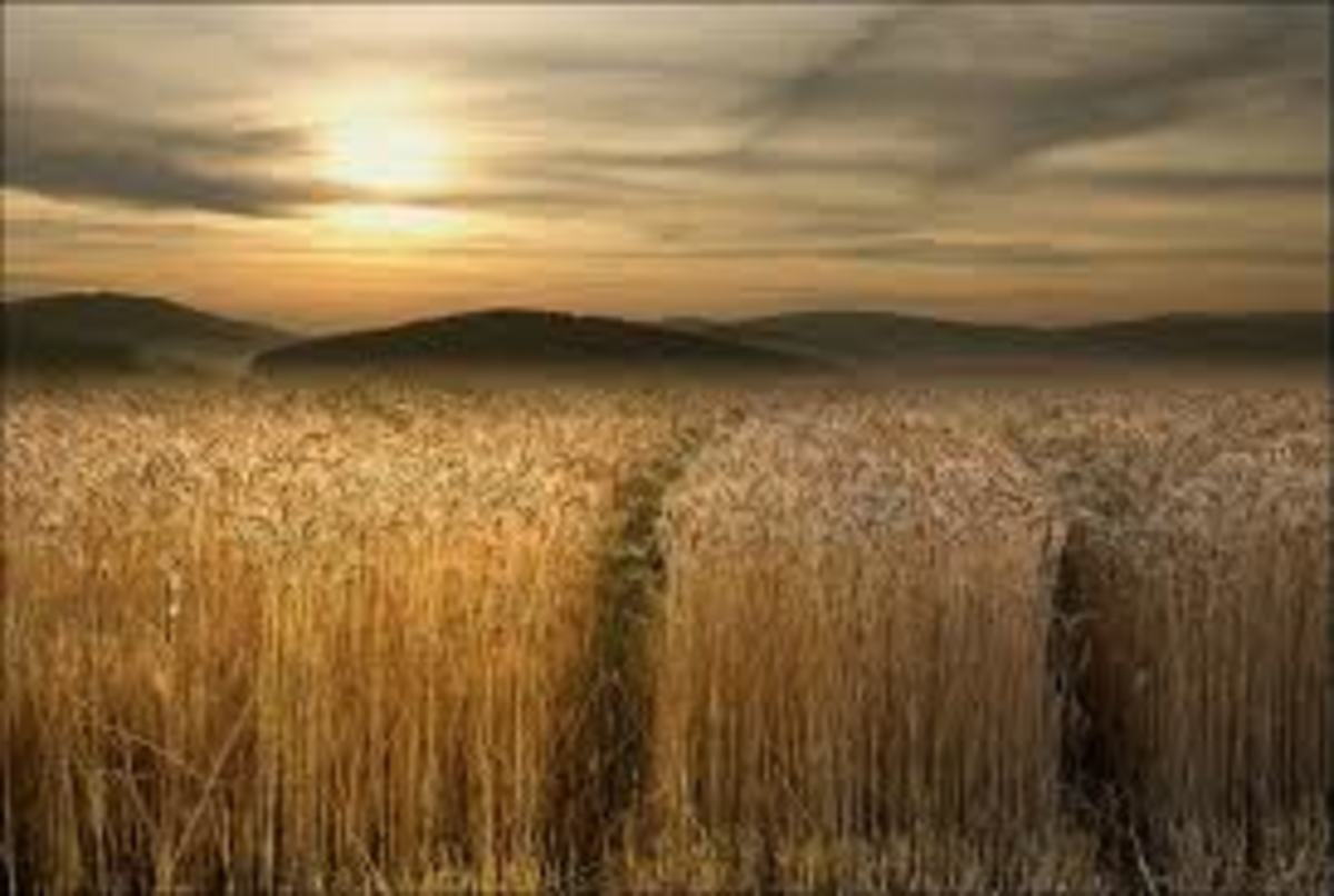 This is a wheat field about to be harvested, it looks like that it will produce plenty of wheat this season, if the entire field is the same as we see it in this photo.
