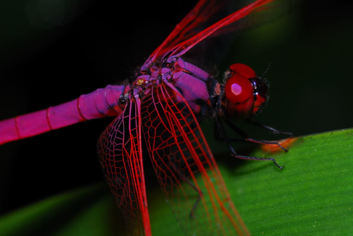50 Macrophotography / Microphotography of the Dragonfly ~ Macrophotographic Images of Dragonflies