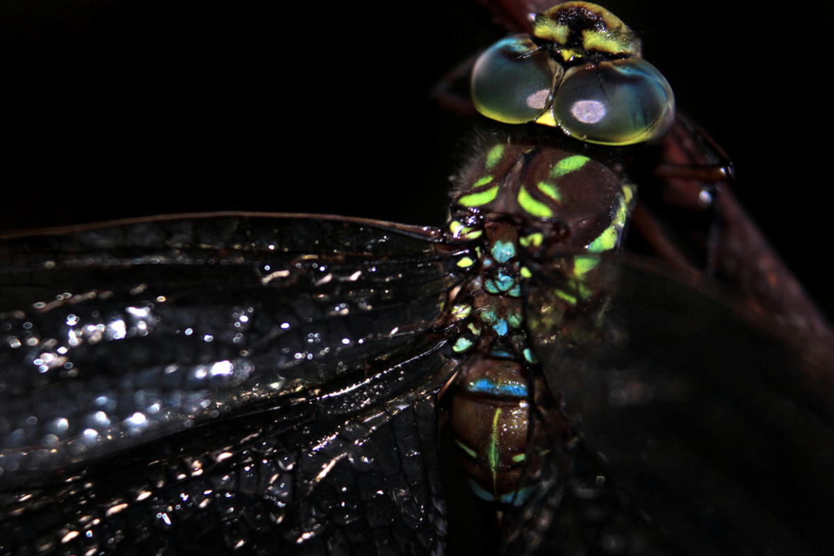 The delicate spots of color on this dragonfly are a treat for the eyes. Click on the image to display a larger image.