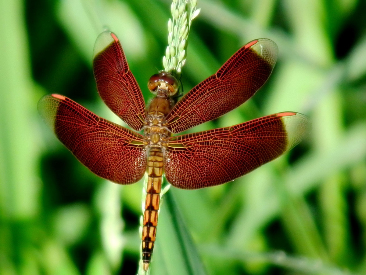 The beautiful wings of this dragonfly contrast well against its green backdrop.  Click on the image to display a larger image.