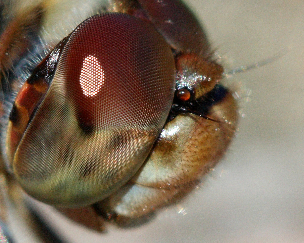 The compound eyes and furred face and body are clearly displayed by this image of a common Darter Dragonfly. Notice also the very small antenna. Click on the image to display a larger image.