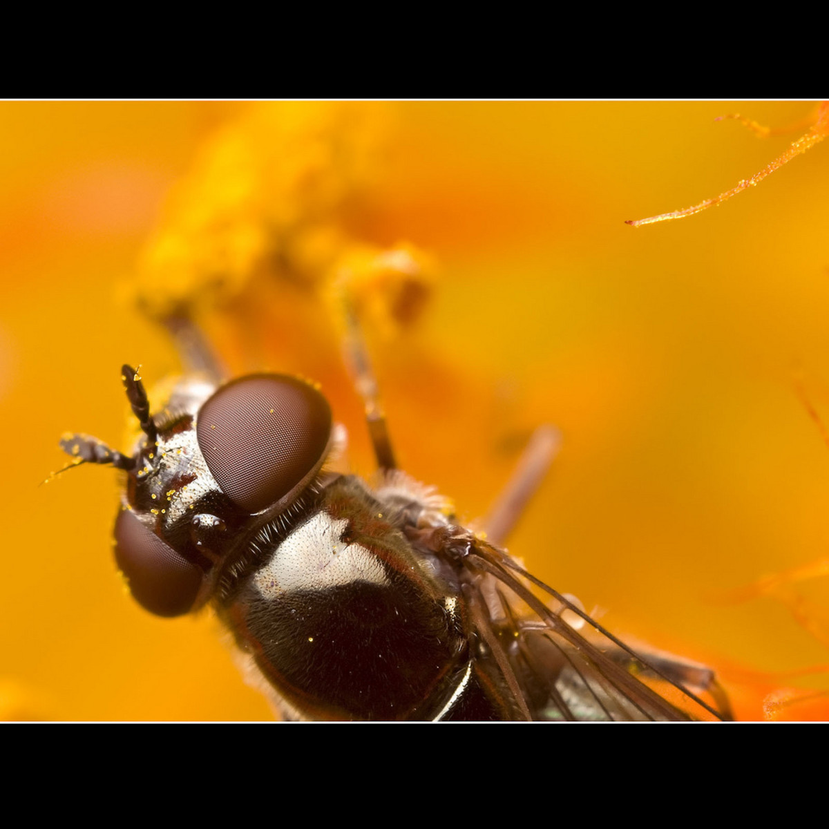 Hoverfly: The antenna of this fly is very unique.