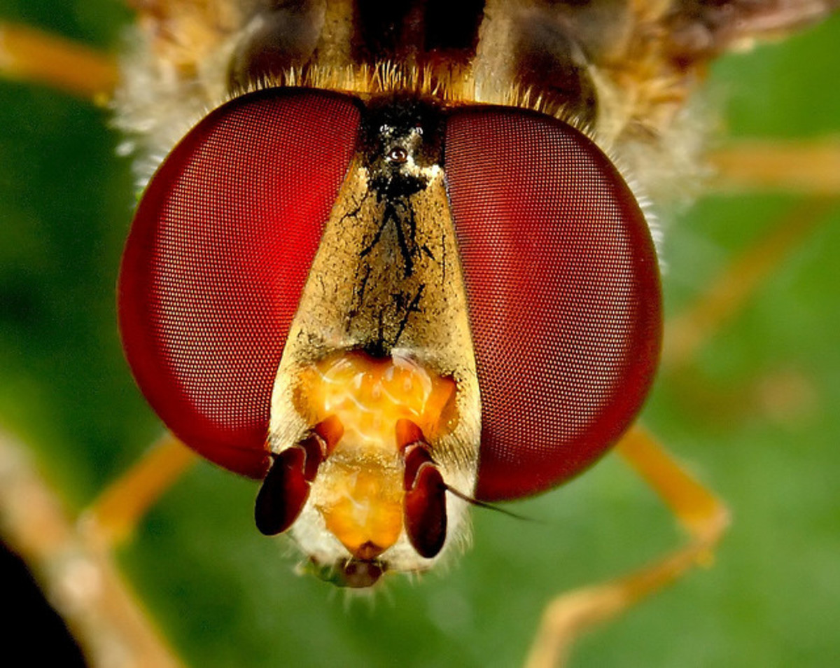 Many insect's eyes are disproportionately large compared to the rest of their head and bodies. Their compound eyes are displayed very well in this image.