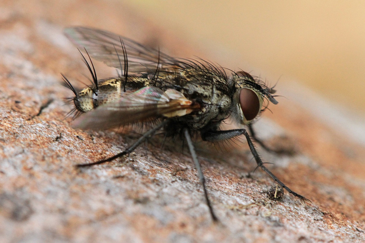Fly: The hair on the body of this fly is clearly displayed in this image.