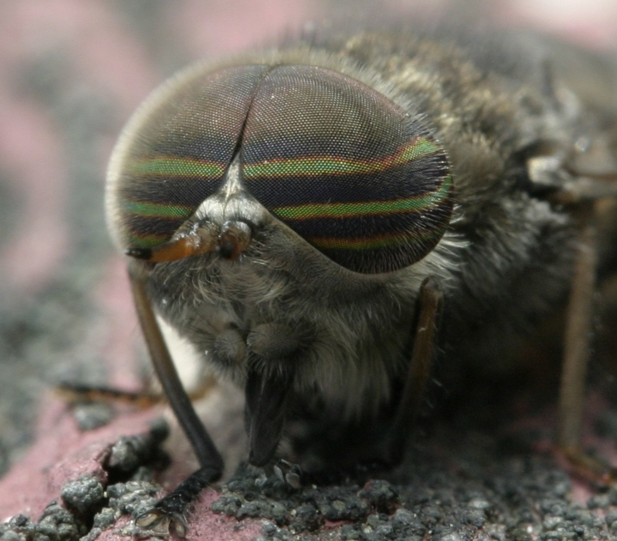 Male Horse Fly: Notice the color stripes across its eyes, its very small antenna and its sucking mouth parts.