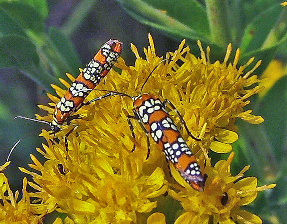 Webworm moths (Atteva punctella) feed on stiff goldenrod