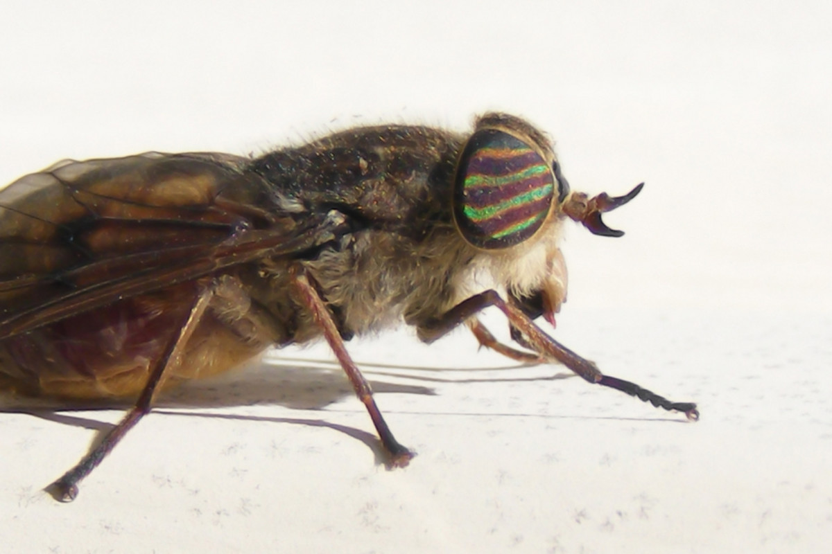 Fly: Notice the stripes on this insect's eyes.