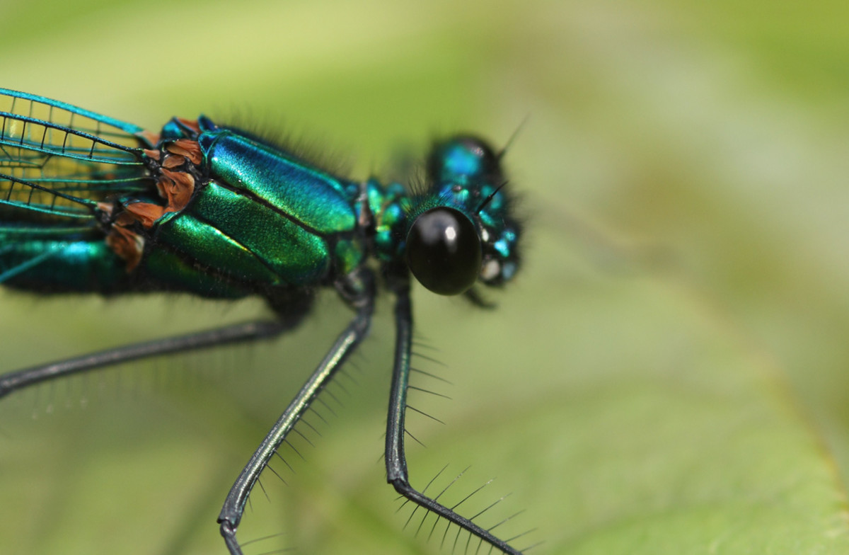 Banded demoiselle damselfly (Calopteryx splendens) - The photographer that took this picture felt that this was the most beautiful insect in his part of the world. The colors are truly breath-taking.