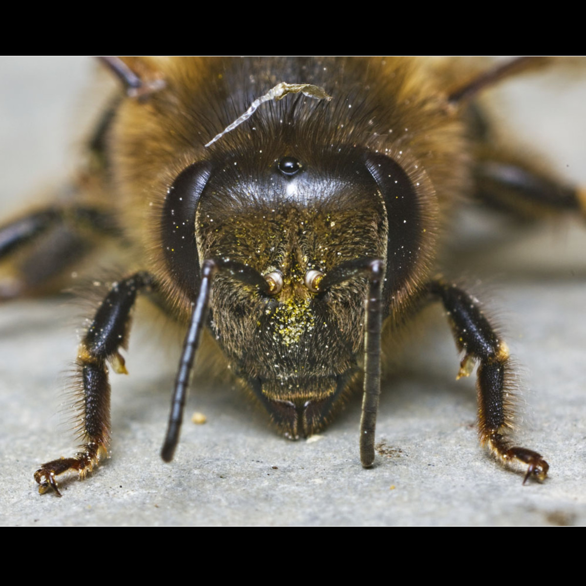 Bee: Notice the segmented antenna. It is coated with pollen.