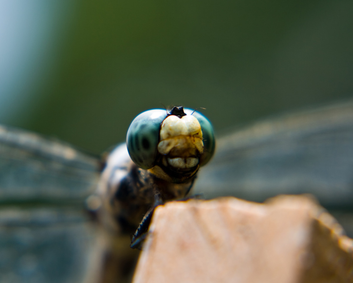 Notice the eyes and the mouth parts on this dragonfly.