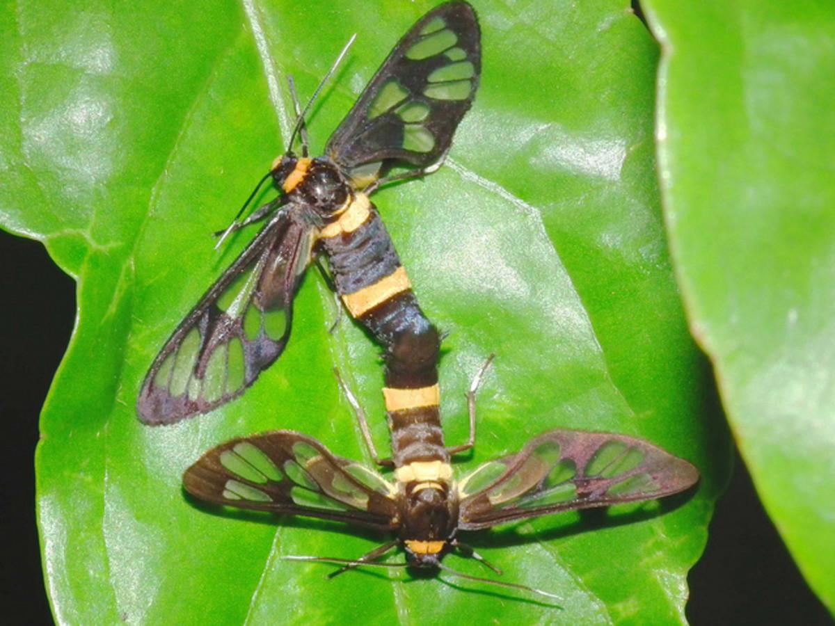 A Pairing of Moths