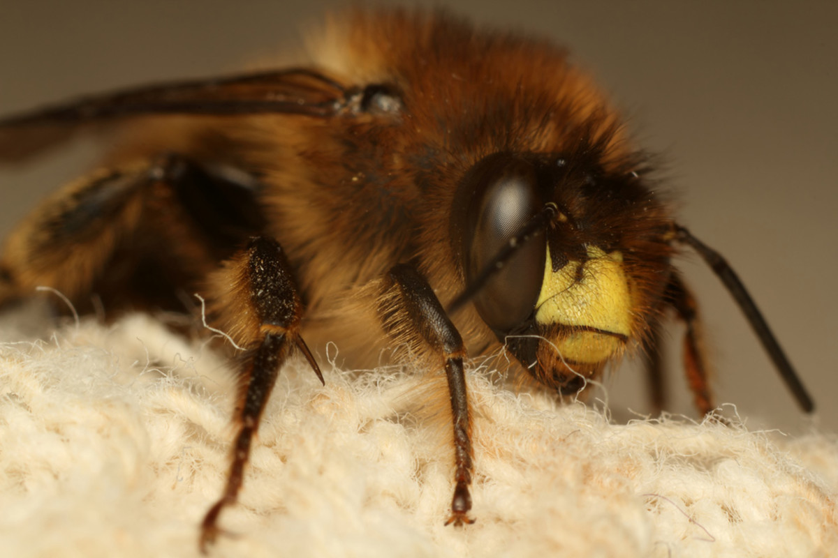 Notice the changes in the hair's density on different parts of this bee's body.