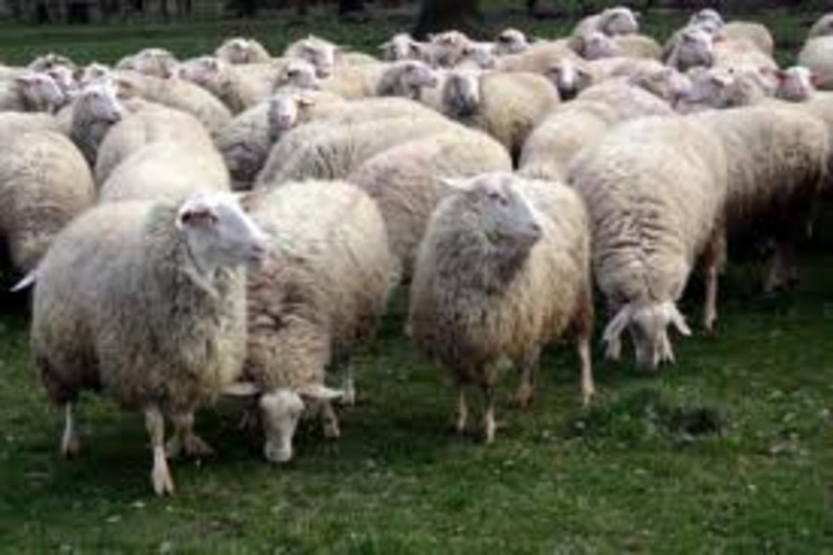 A small flock of sheep grazing, similar to the sheep I had to mind when I was young. I had to take the sheep out in our fiends and make sure that they did not go in somebody else fields and also keep them away from fields that steel had a crop.